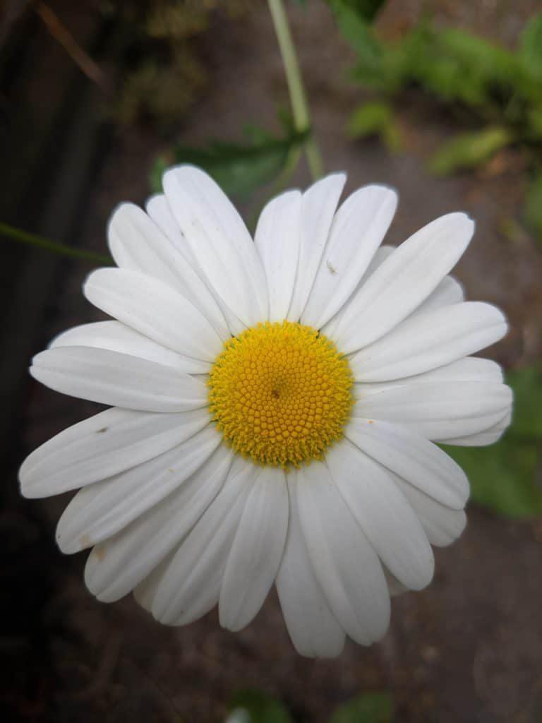 daisy in bloom, summer in BC Canada